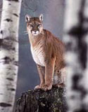 eastern sierra mountain cougar